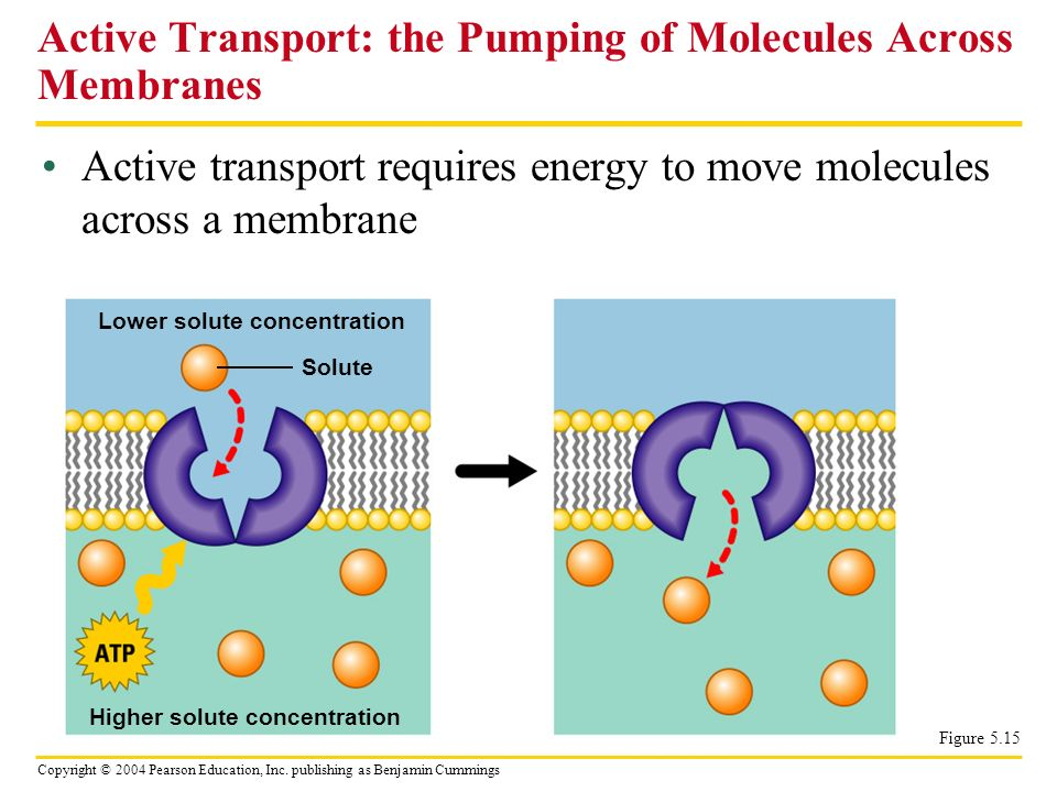 Copyright © 2004 Pearson Education, Inc. publishing as Benjamin Cummings Active transport requires energy to move molecules across a membrane Active T