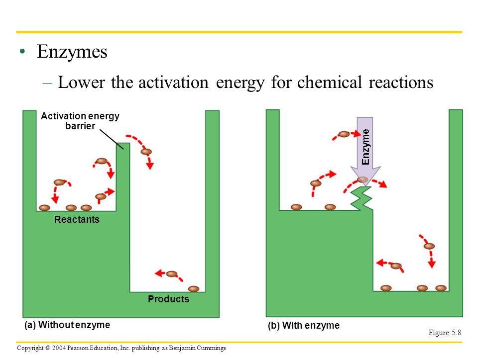 Copyright © 2004 Pearson Education, Inc. publishing as Benjamin Cummings Enzymes –Lower the activation energy for chemical reactions Figure 5.8 Activa
