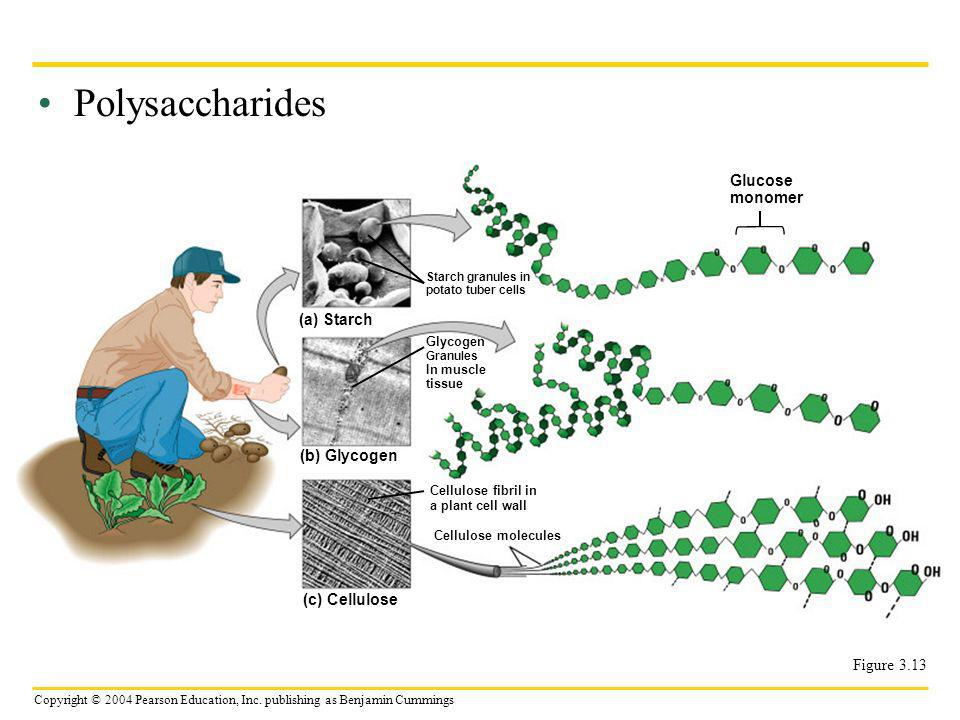 Copyright © 2004 Pearson Education, Inc. publishing as Benjamin Cummings Polysaccharides Figure 3.13 (a) Starch Starch granules in potato tuber cells