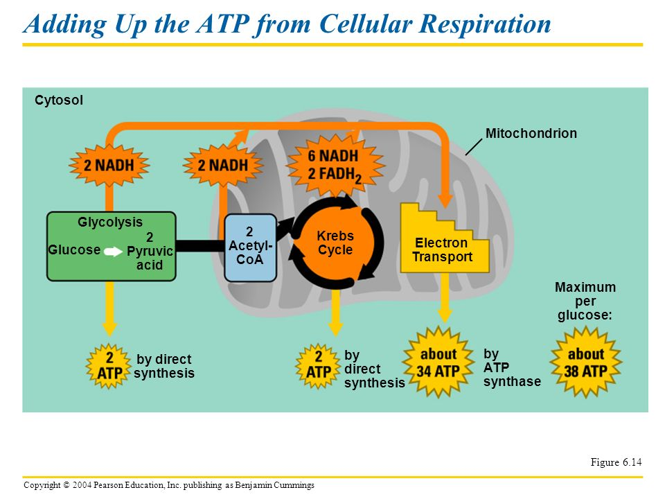 Copyright © 2004 Pearson Education, Inc. publishing as Benjamin Cummings Adding Up the ATP from Cellular Respiration Figure 6.14 Cytosol Mitochondrion