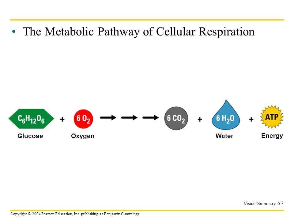 Copyright © 2004 Pearson Education, Inc. publishing as Benjamin Cummings The Metabolic Pathway of Cellular Respiration Visual Summary 6.3 GlucoseOxyge