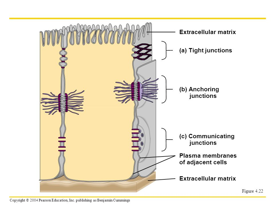 Copyright © 2004 Pearson Education, Inc. publishing as Benjamin Cummings Figure 4.22 Extracellular matrix (a) Tight junctions (b) Anchoring junctions