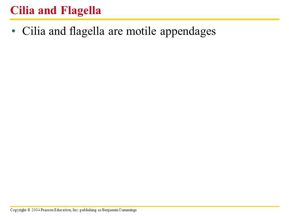Copyright © 2004 Pearson Education, Inc. publishing as Benjamin Cummings Cilia and flagella are motile appendages Cilia and Flagella
