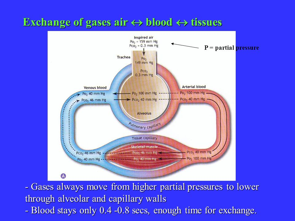 - Gases always move from higher partial pressures to lower through alveolar and capillary walls - Blood stays only 0.4 -0.8 secs, enough time for exch
