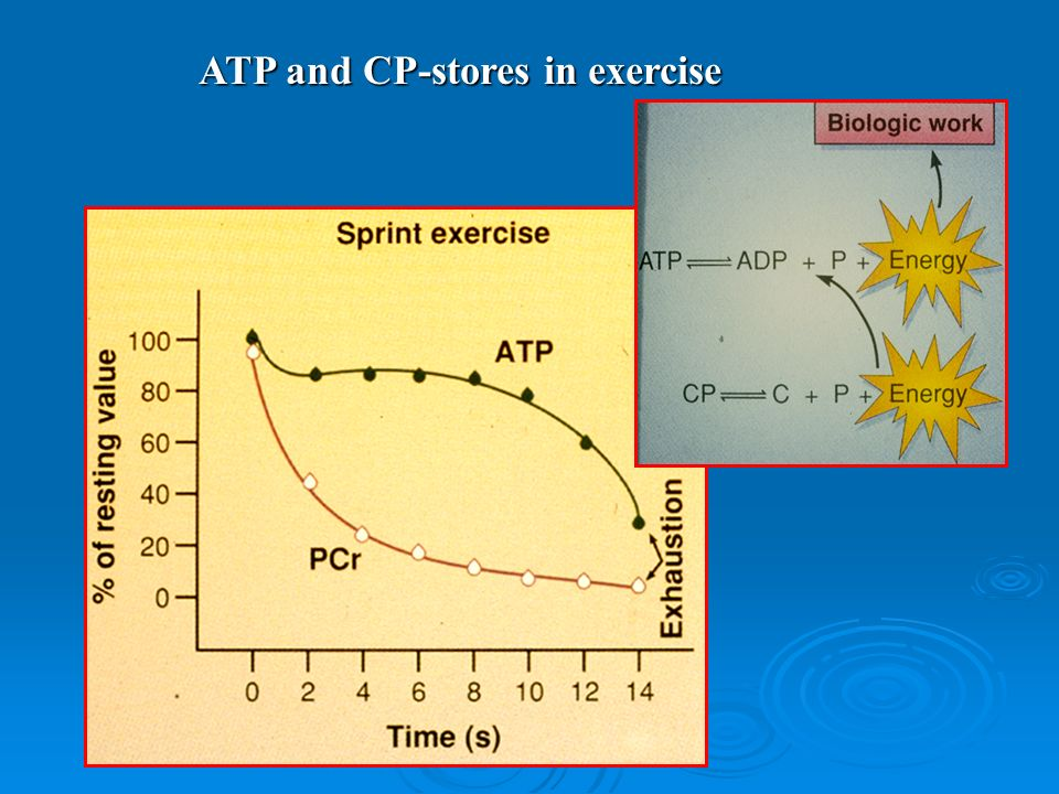 ATP and CP-stores in exercise