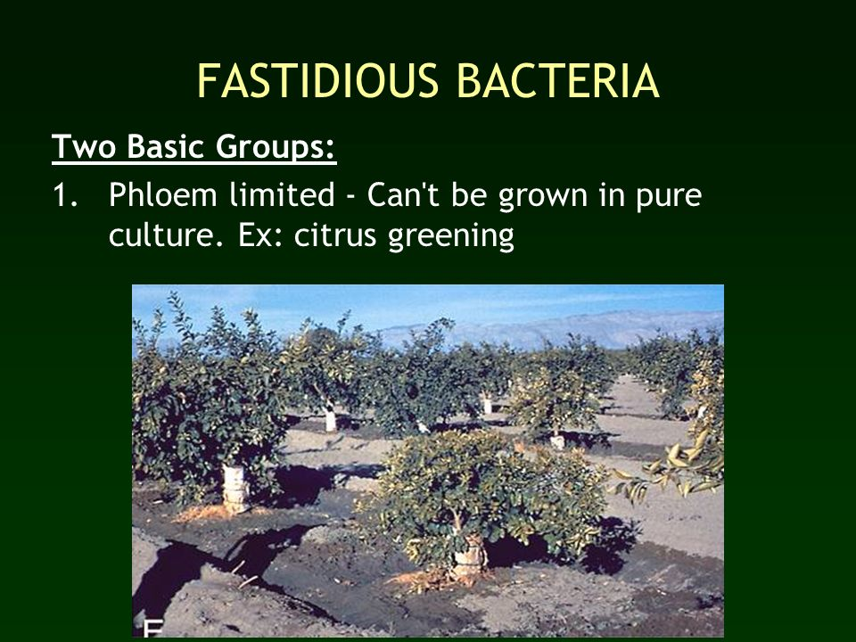 FASTIDIOUS BACTERIA Two Basic Groups: 1.Phloem limited - Can't be grown in pure culture. Ex: citrus greening