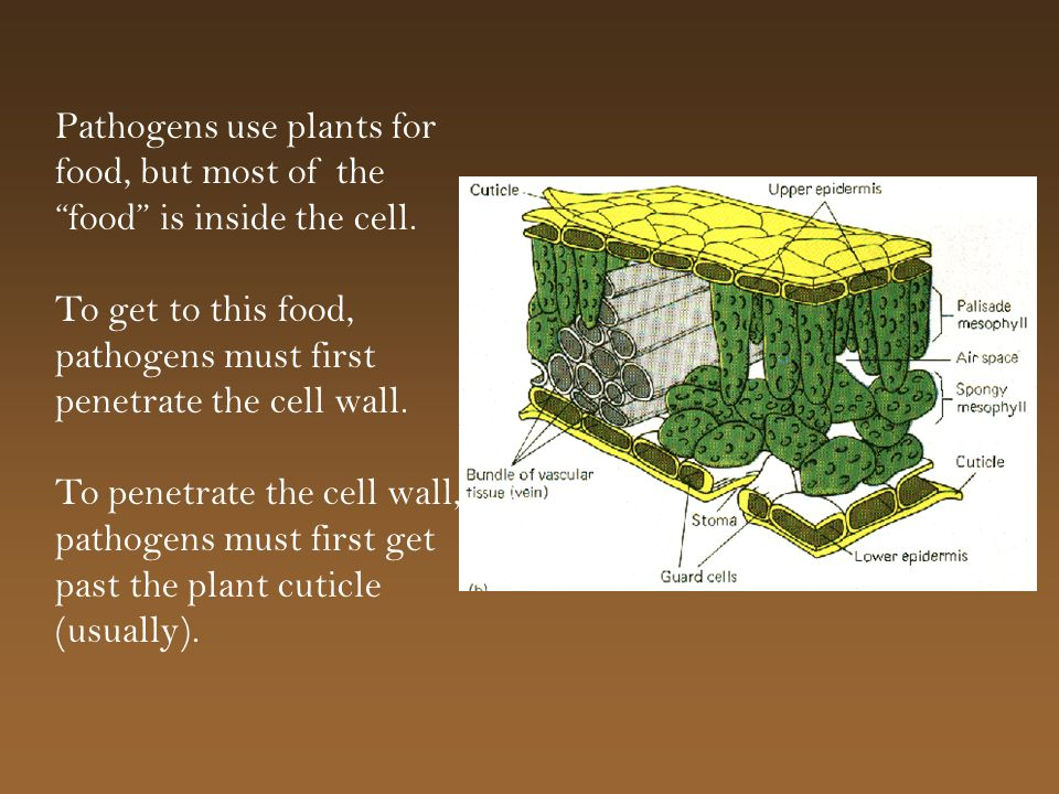 Pathogens use plants for food, but most of the food is inside the cell. To get to this food, pathogens must first penetrate the cell wall. To penetrat