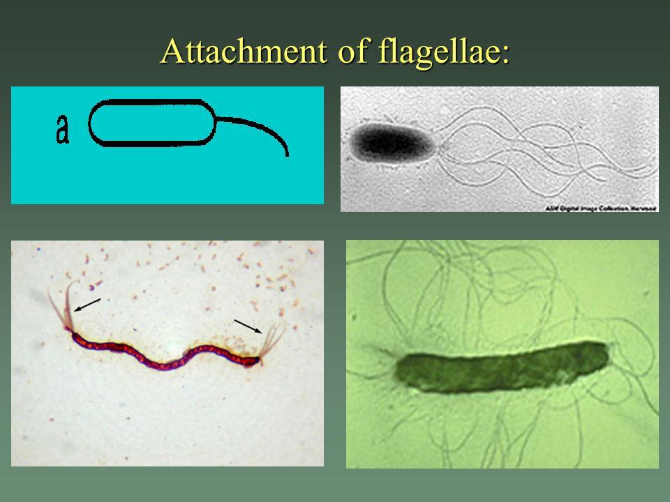 Attachment of flagellae: