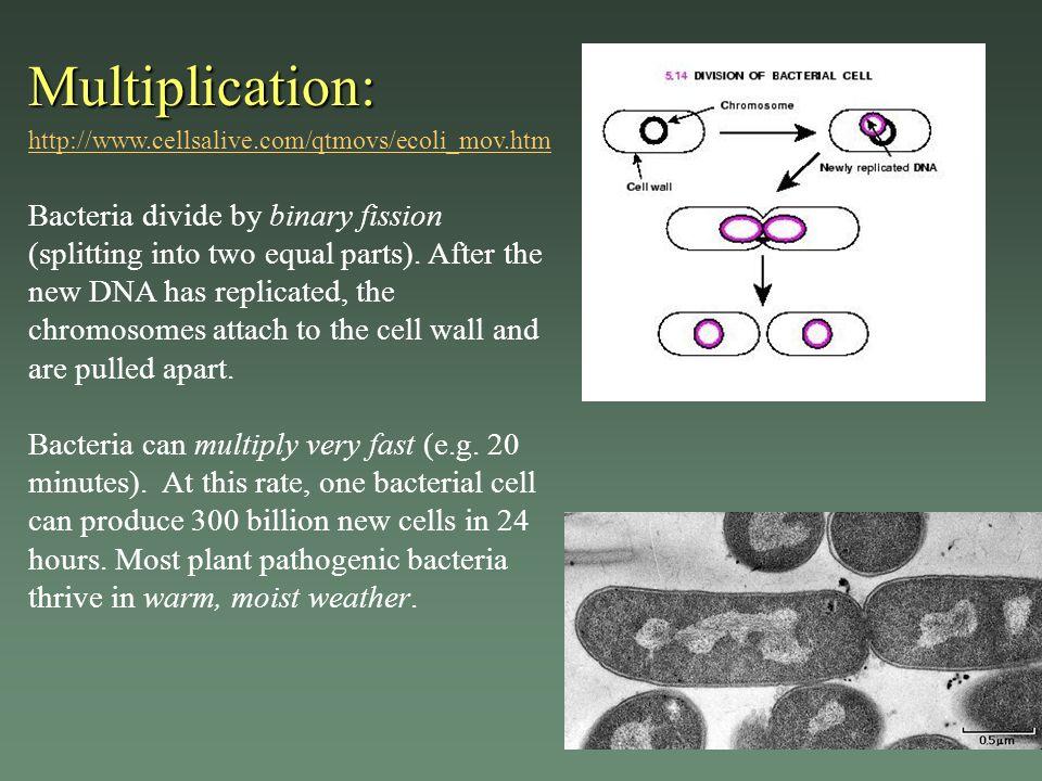 Multiplication: Multiplication: http://www.cellsalive.com/qtmovs/ecoli_mov.htm http://www.cellsalive.com/qtmovs/ecoli_mov.htm Bacteria divide by binar
