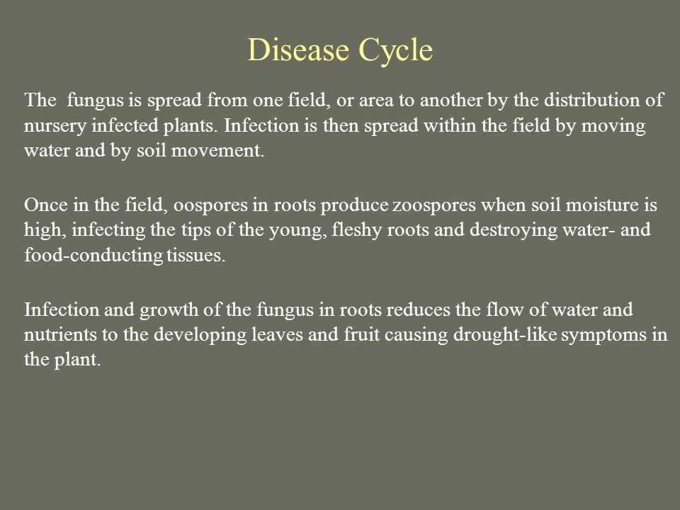 Disease Cycle The fungus is spread from one field, or area to another by the distribution of nursery infected plants. Infection is then spread within
