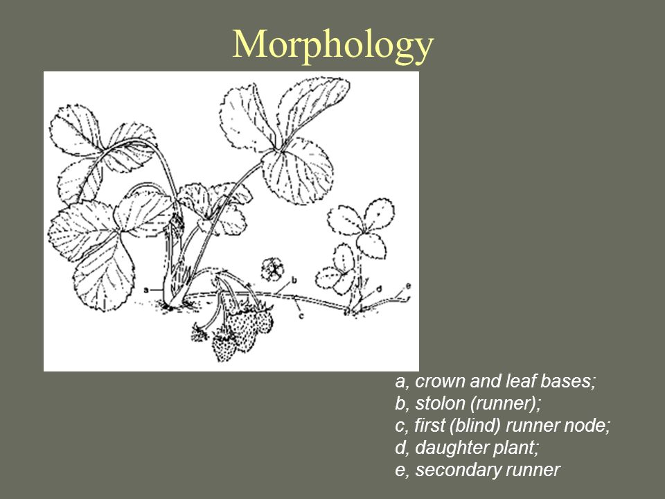 Morphology a, crown and leaf bases; b, stolon (runner); c, first (blind) runner node; d, daughter plant; e, secondary runner