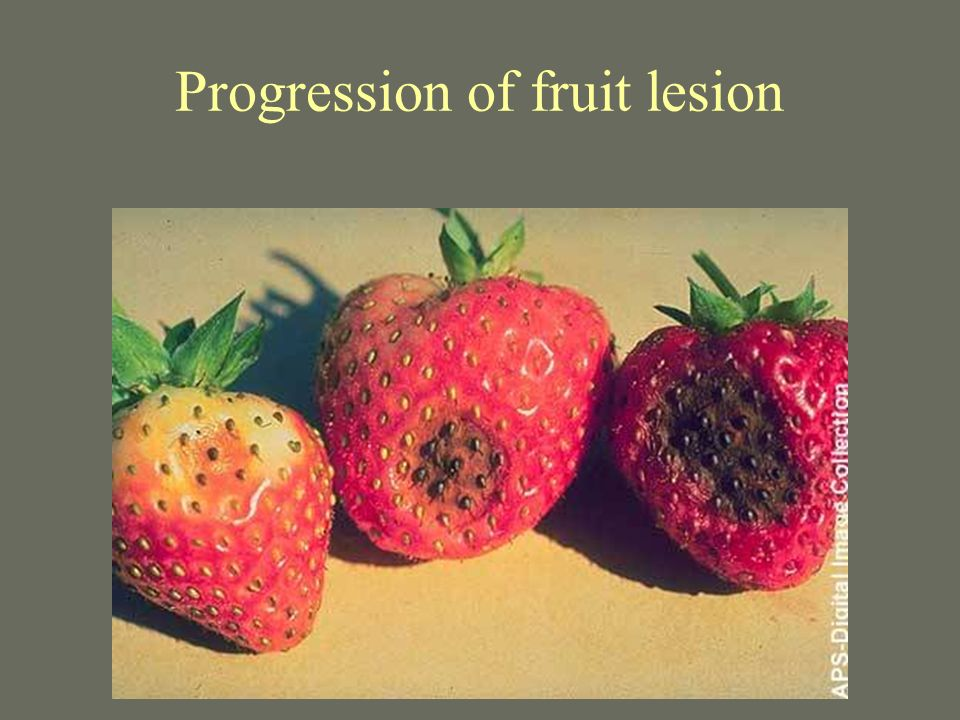 Progression of fruit lesion