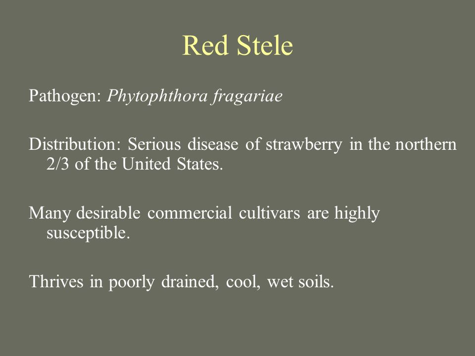 Red Stele Pathogen: Phytophthora fragariae Distribution: Serious disease of strawberry in the northern 2/3 of the United States. Many desirable commer