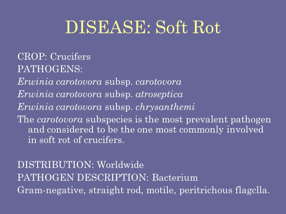 DISEASE SYMPTOMS Soft rot occurs on all crucifers, particularly damaging to Chinese cabbage and common cabbage.