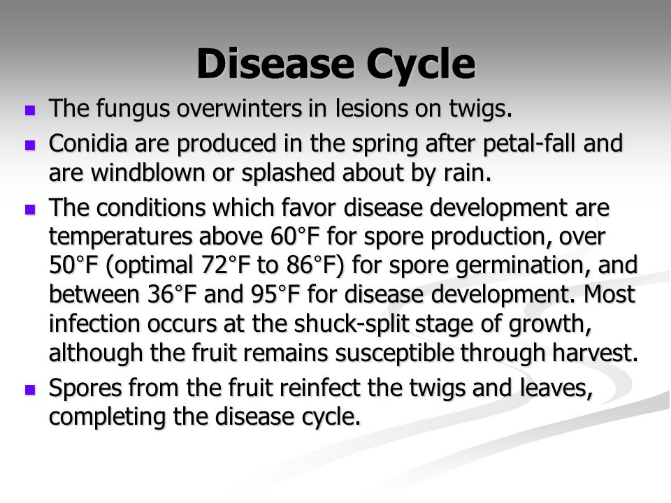 Disease Cycle The fungus overwinters in lesions on twigs. The fungus overwinters in lesions on twigs. Conidia are produced in the spring after petal-f