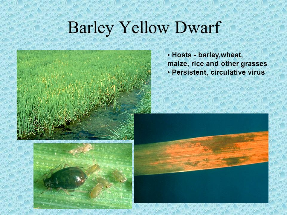 Barley Yellow Dwarf Hosts - barley,wheat, maize, rice and other grasses Persistent, circulative virus