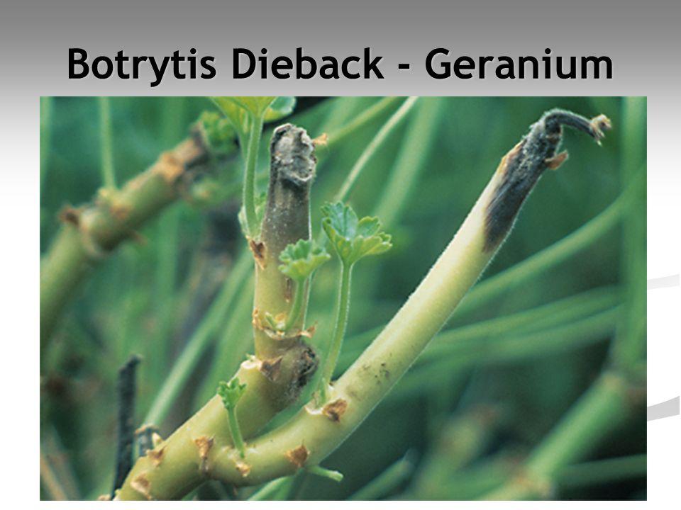Botrytis Dieback - Geranium