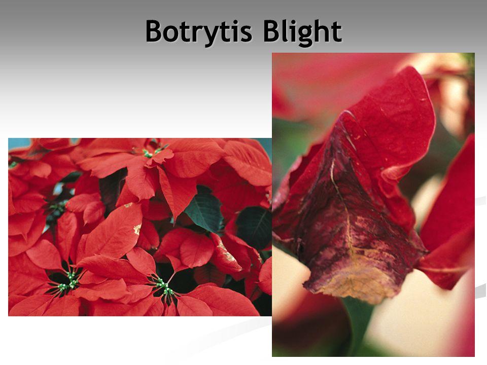 Botrytis Blight