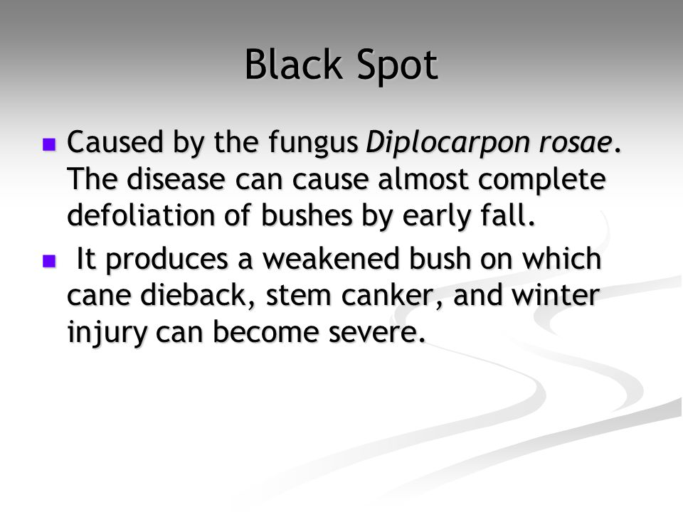 Black Spot Caused by the fungus Diplocarpon rosae. The disease can cause almost complete defoliation of bushes by early fall. Caused by the fungus Dip