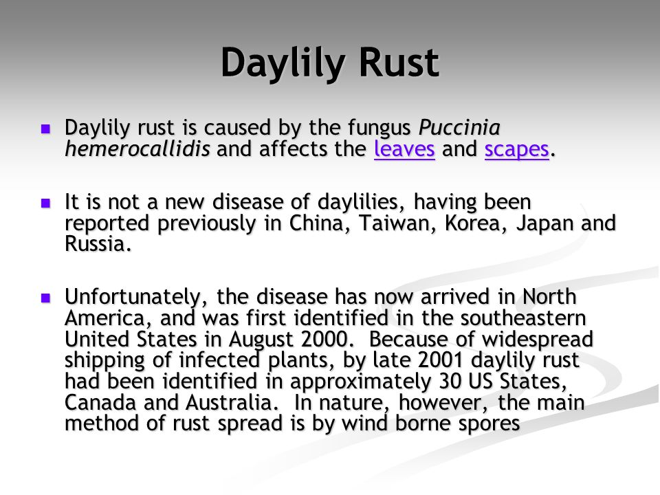 Daylily Rust Daylily rust is caused by the fungus Puccinia hemerocallidis and affects the leaves and scapes. Daylily rust is caused by the fungus Pucc