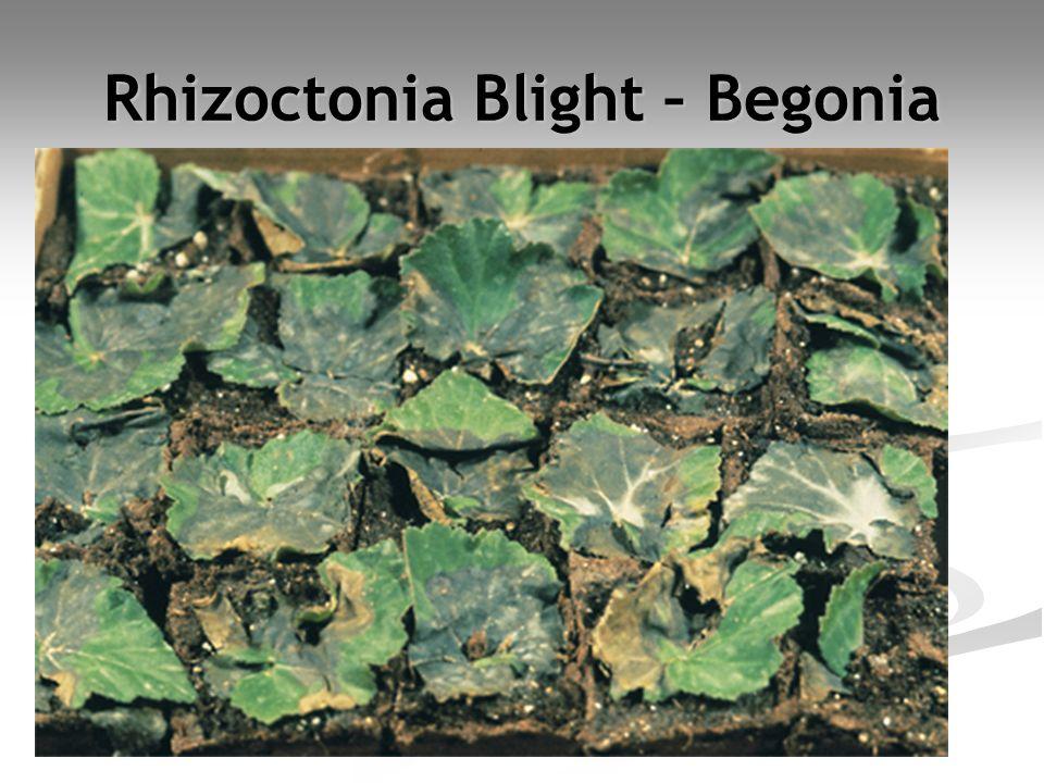 Rhizoctonia Blight – Begonia