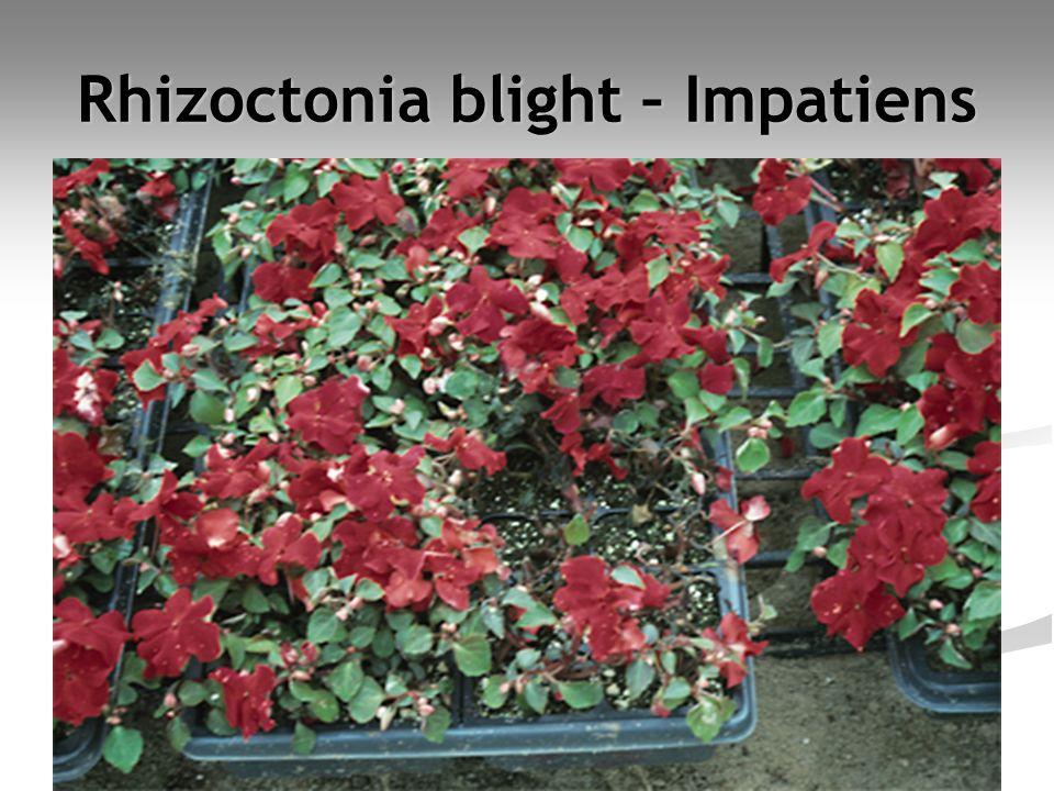 Rhizoctonia blight – Impatiens