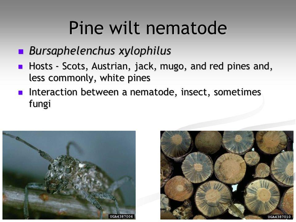 Pine wilt nematode Bursaphelenchus xylophilus Bursaphelenchus xylophilus Hosts - Scots, Austrian, jack, mugo, and red pines and, less commonly, white