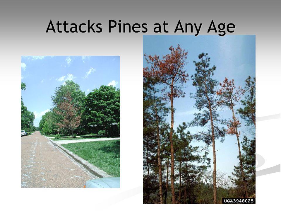 Attacks Pines at Any Age