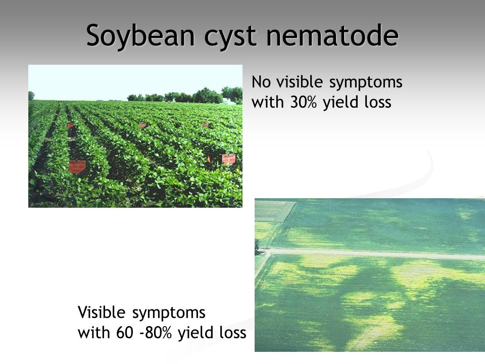 Soybean cyst nematode No visible symptoms with 30% yield loss Visible symptoms with 60 -80% yield loss