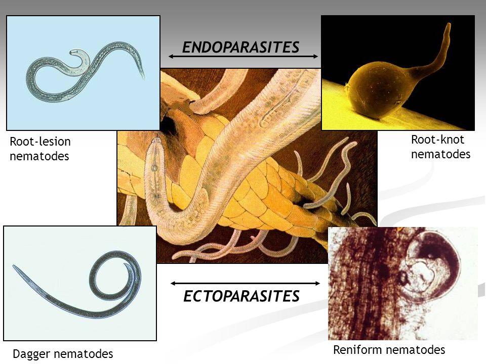 ENDOPARASITES ECTOPARASITES Root-lesion nematodes Dagger nematodes Root-knot nematodes Reniform nematodes