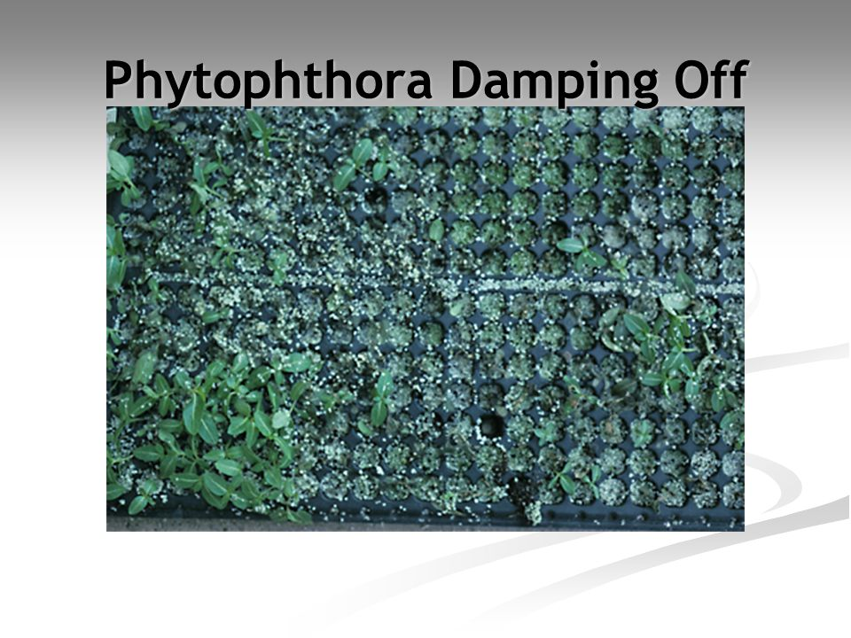 Phytophthora Damping Off