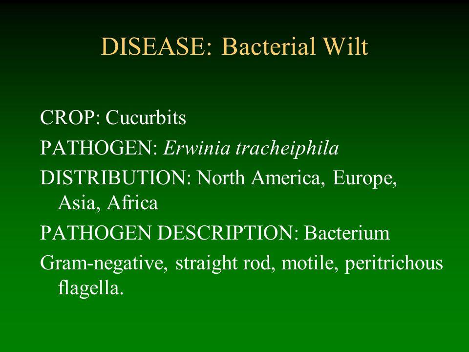 DISEASE: Bacterial Wilt CROP: Cucurbits PATHOGEN: Erwinia tracheiphila DISTRIBUTION: North America, Europe, Asia, Africa PATHOGEN DESCRIPTION: Bacteri