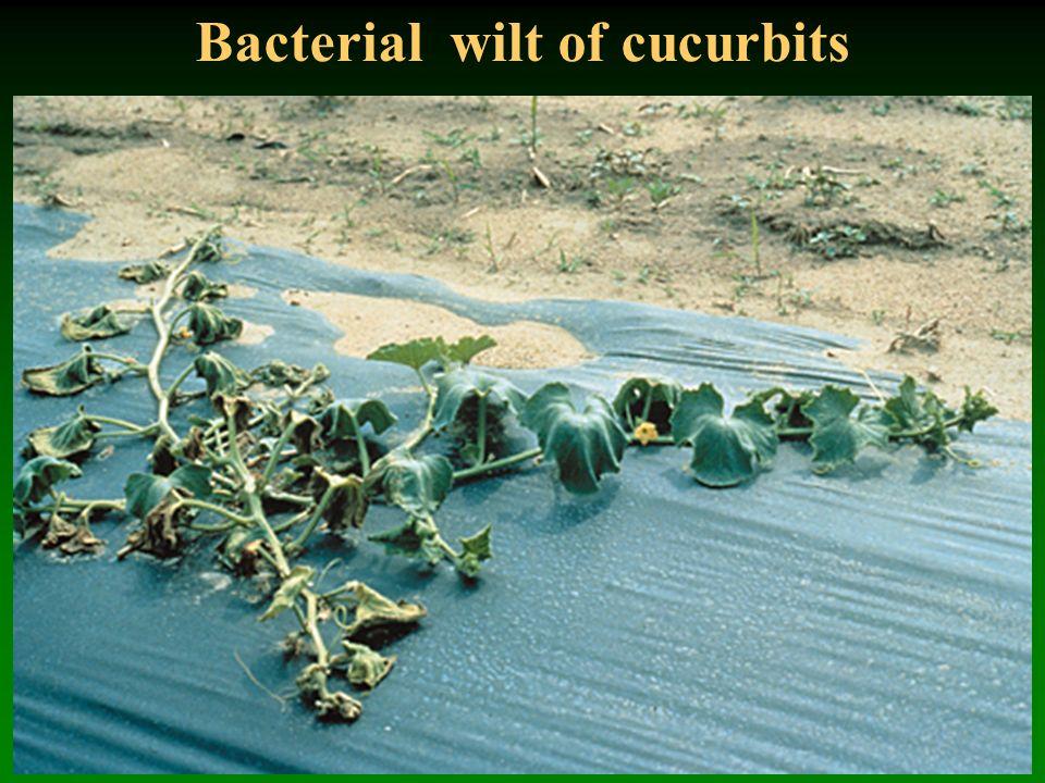 Bacterial wilt of cucurbits