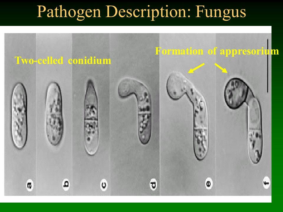 Pathogen Description: Fungus Two-celled conidium Formation of appresorium