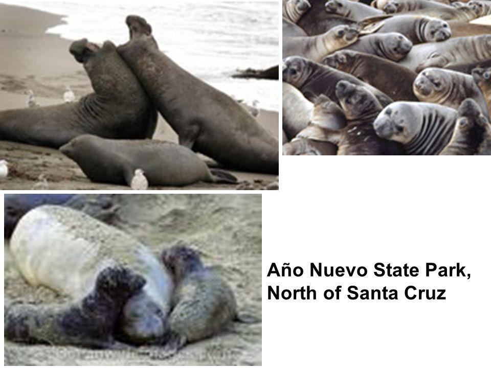Año Nuevo State Park, North of Santa Cruz