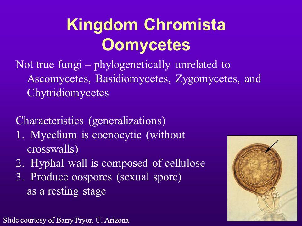 Kingdom Chromista Oomycetes Not true fungi – phylogenetically unrelated to Ascomycetes, Basidiomycetes, Zygomycetes, and Chytridiomycetes Characterist