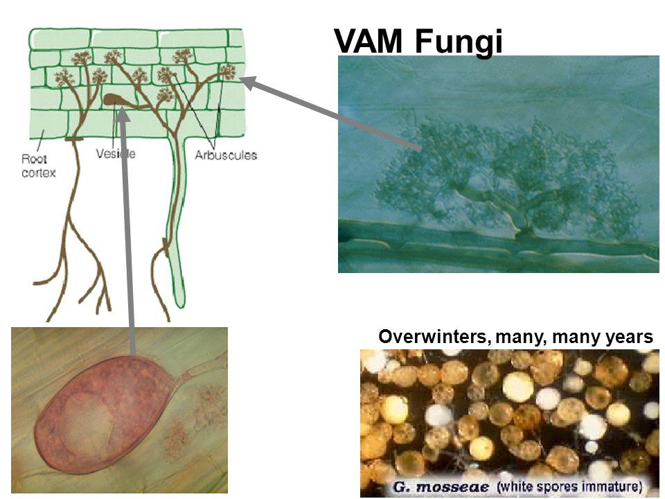 VAM Fungi vesicle Overwinters, many, many years