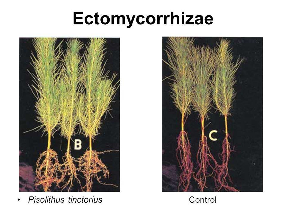 Ectomycorrhizae Pisolithus tinctoriusControl