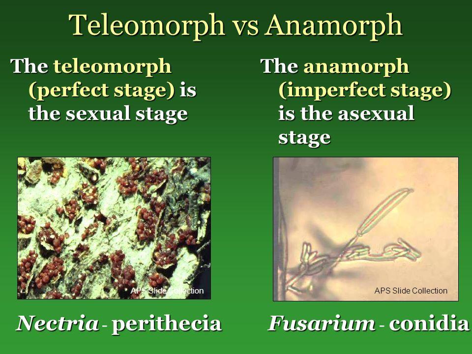 Teleomorph vs Anamorph The teleomorph (perfect stage) is the sexual stage The anamorph (imperfect stage) is the asexual stage Nectriaperithecia Nectria - perithecia Fusariumconidia Fusarium - conidia APS Slide Collection