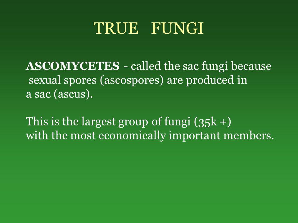 TRUE FUNGI ASCOMYCETES - called the sac fungi because sexual spores (ascospores) are produced in a sac (ascus).