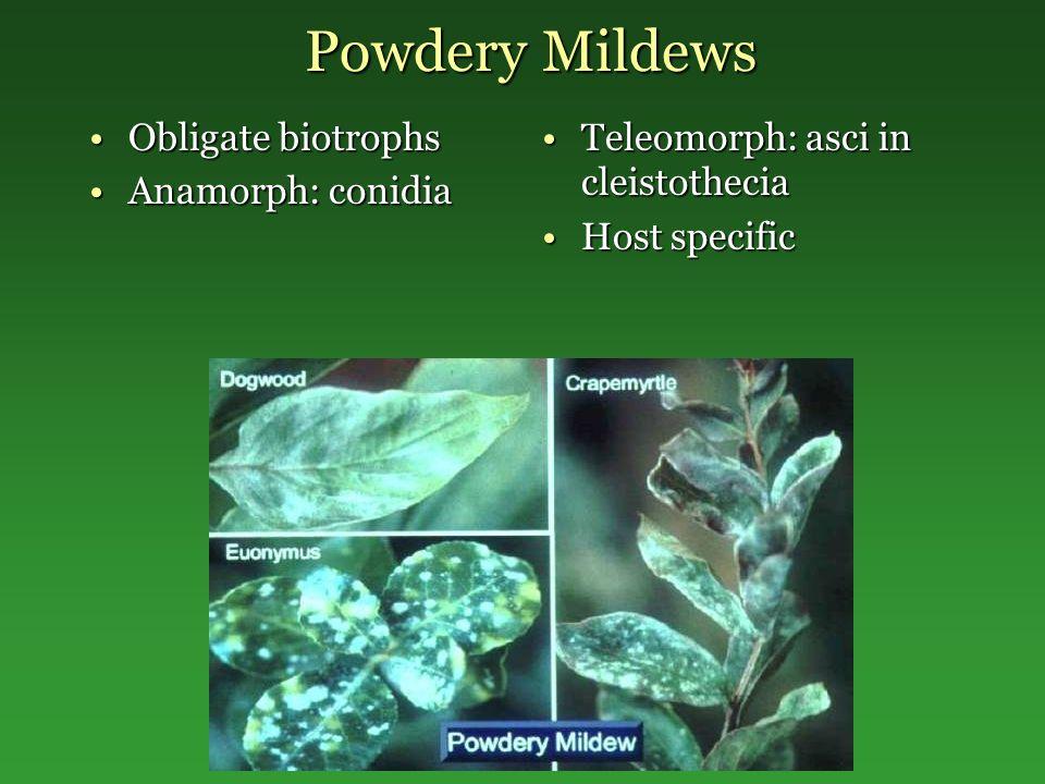 Powdery Mildews Obligate biotrophsObligate biotrophs Anamorph: conidiaAnamorph: conidia Teleomorph: asci in cleistotheciaTeleomorph: asci in cleistoth