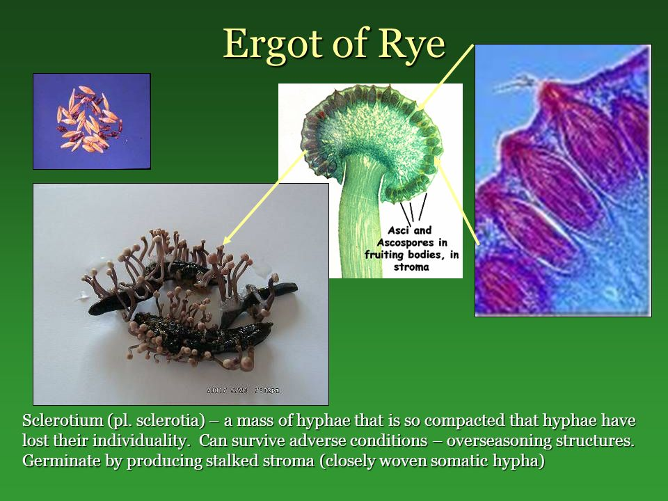 Ergot of Rye Sclerotium (pl. sclerotia) – a mass of hyphae that is so compacted that hyphae have lost their individuality. Can survive adverse conditi