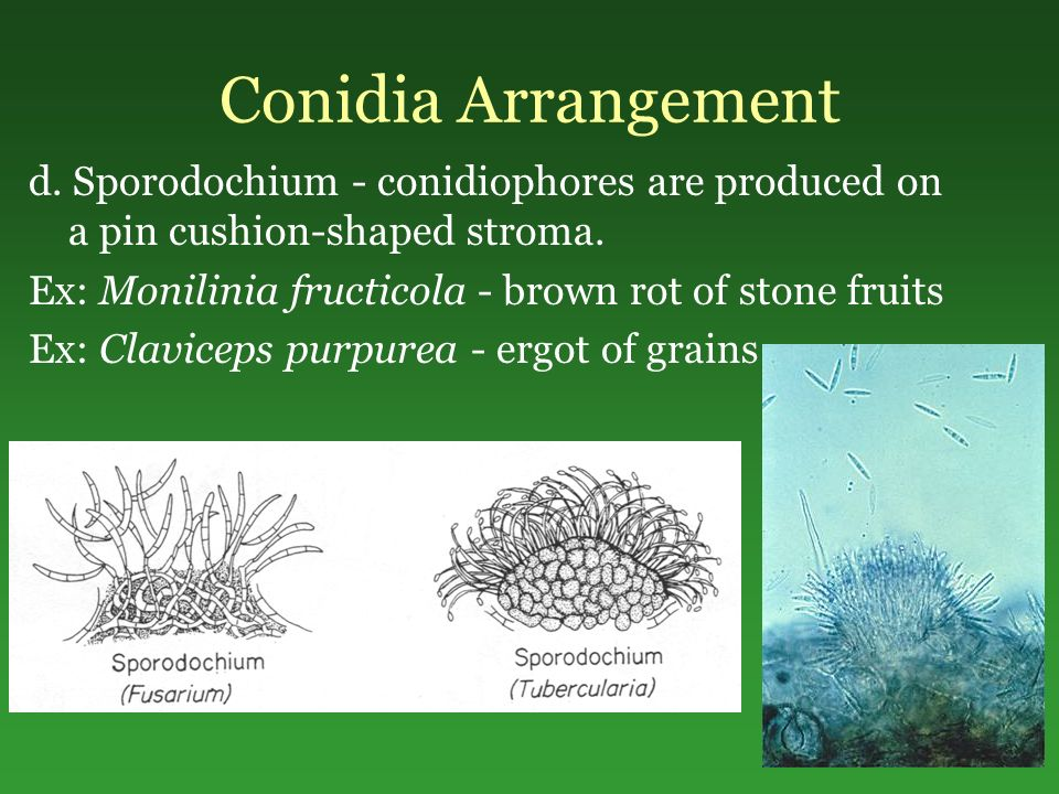 Conidia Arrangement d. Sporodochium - conidiophores are produced on a pin cushion-shaped stroma. Ex: Monilinia fructicola - brown rot of stone fruits