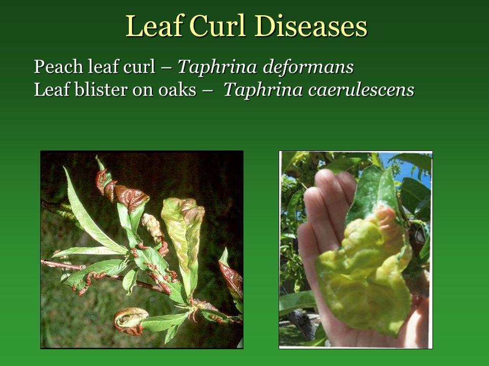 Leaf Curl Diseases Peach leaf curl – Taphrina deformans Leaf blister on oaks – Taphrina caerulescens