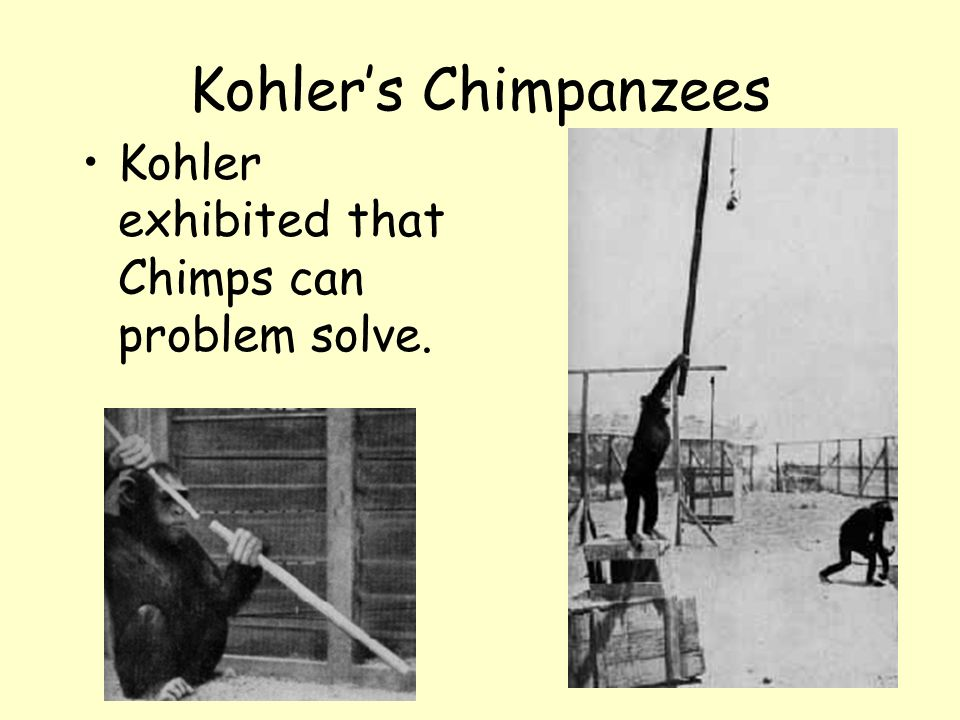Kohlers Chimpanzees Kohler exhibited that Chimps can problem solve.