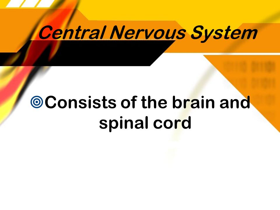 Central Nervous System Consists of the brain and spinal cord