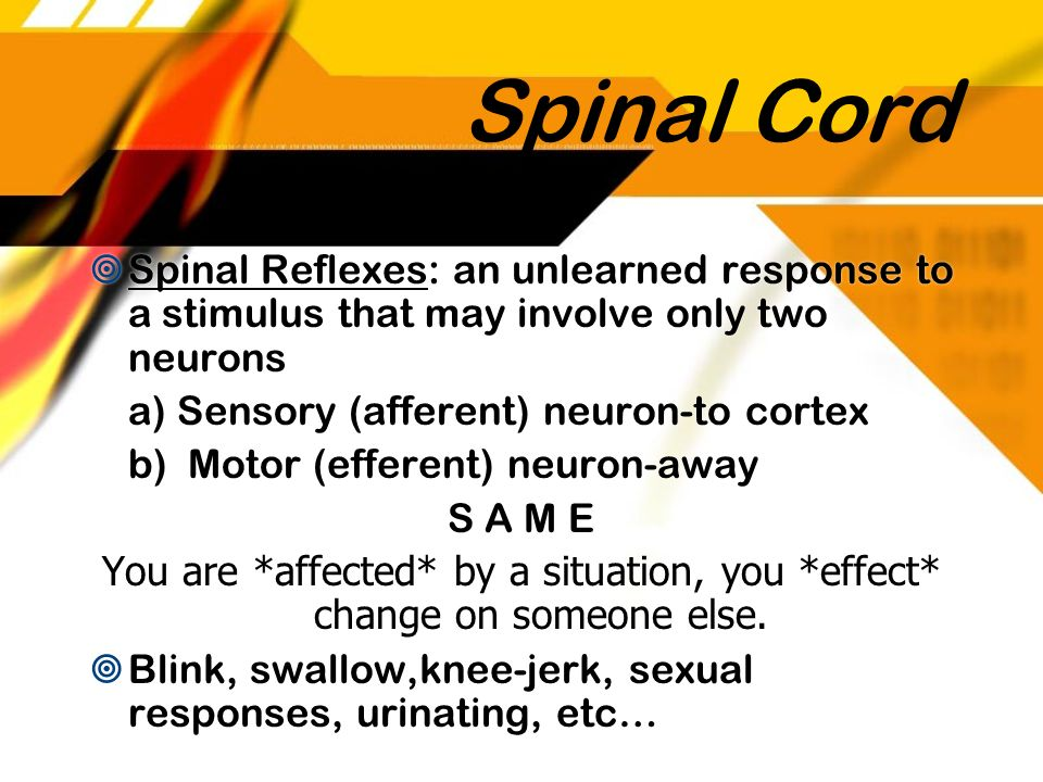 Spinal Cord Spinal Reflexes: an unlearned response to a stimulus that may involve only two neurons a) Sensory (afferent) neuron-to cortex b) Motor (ef