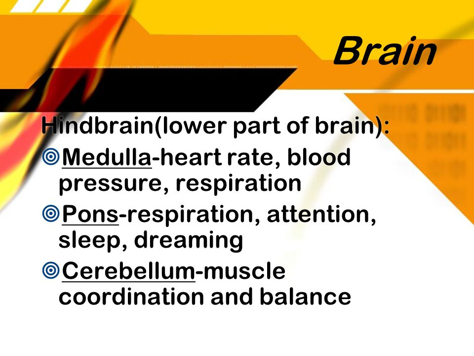 Brain Hindbrain(lower part of brain): Medulla-heart rate, blood pressure, respiration Pons-respiration, attention, sleep, dreaming Cerebellum-muscle c