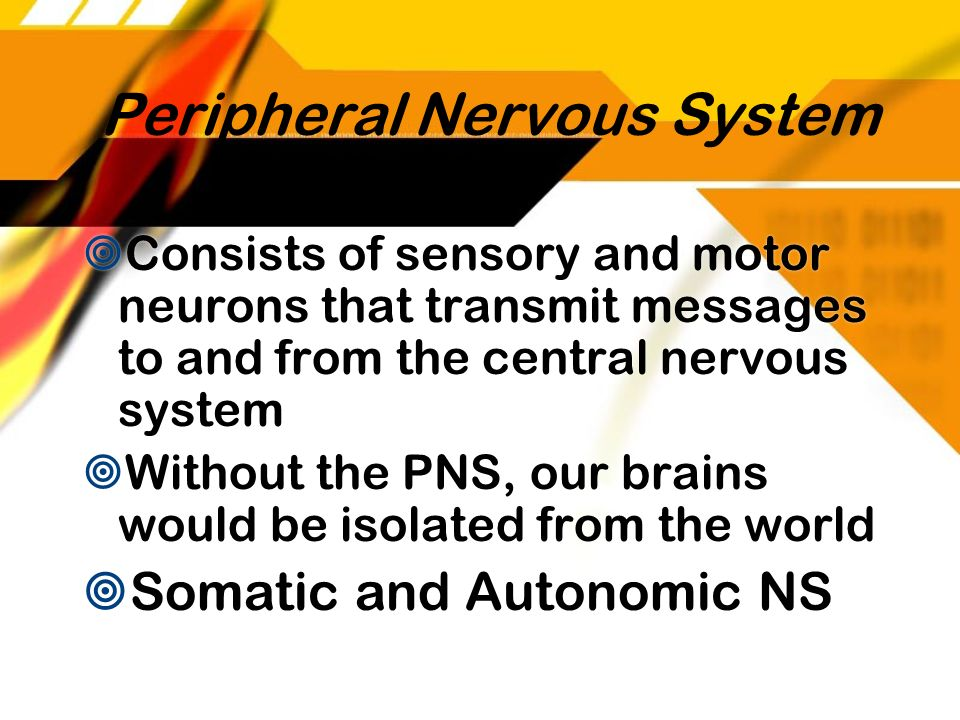Peripheral Nervous System Consists of sensory and motor neurons that transmit messages to and from the central nervous system Without the PNS, our bra