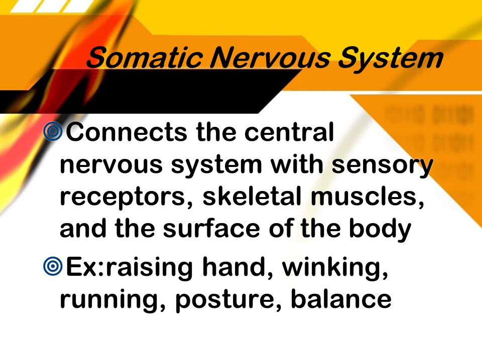 Somatic Nervous System Connects the central nervous system with sensory receptors, skeletal muscles, and the surface of the body Ex:raising hand, wink
